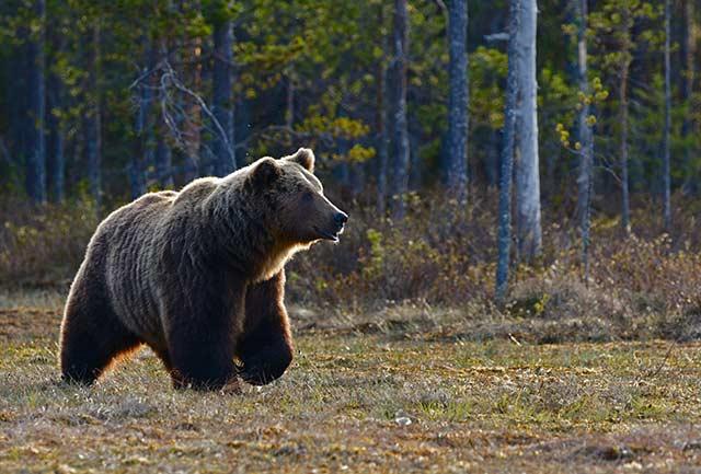 野生動物 恐怖する熊
